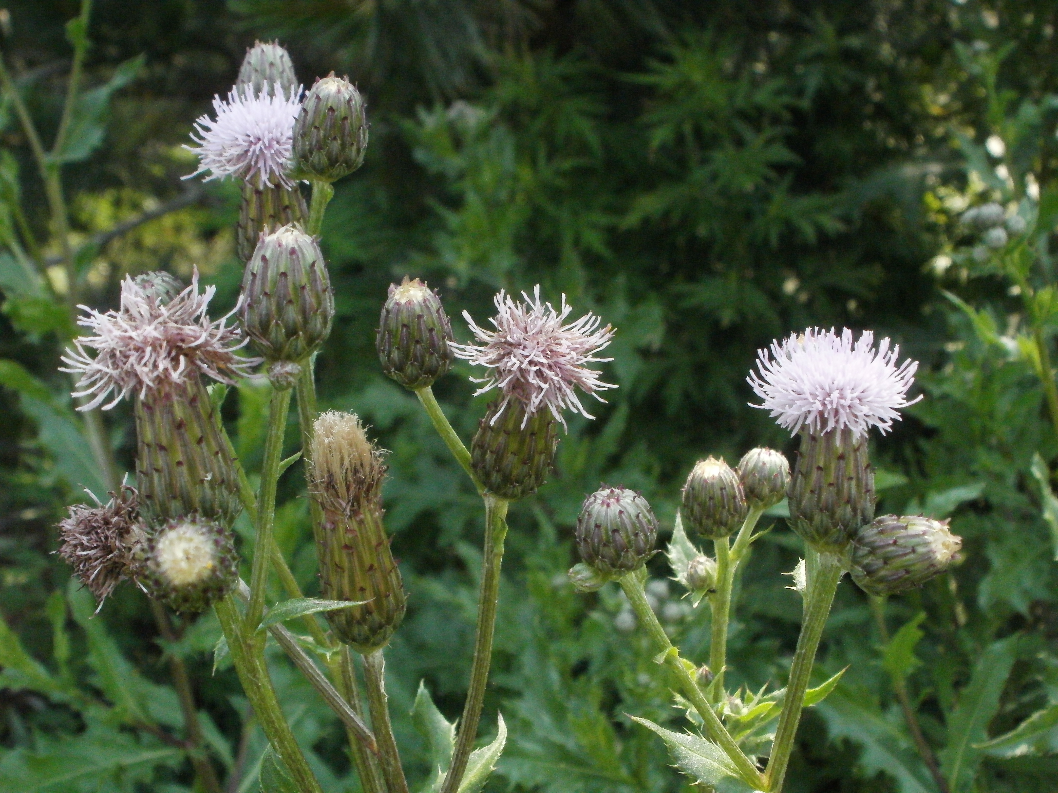 Canadian Thistle - Cirsium arvense   S&E Wards Landscape Management